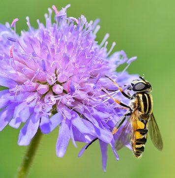 allergia al veleno da imenotteri