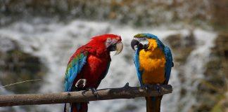 malattia infettiva trasmessa da pappagalli